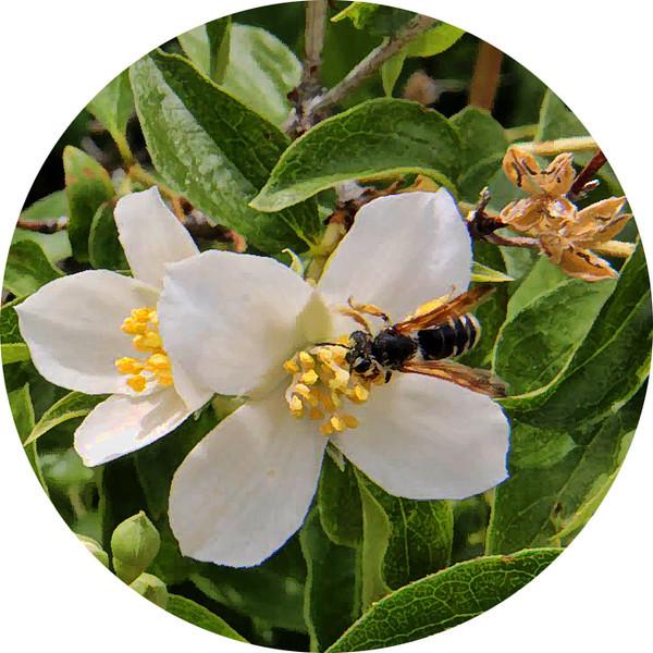 syringa (mock orange) and bee