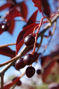 plum berries