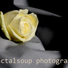 White Rose on Gray Cloth