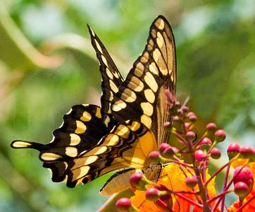 Shallowtail Butterfly on Lantana