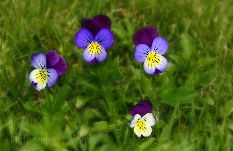 Blooming Violas