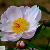 Peony in bloom - 149