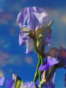 Garden Iris Reflections