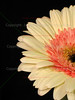White and Pink Gerber Daisy