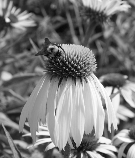 Love the bunny look of this cone flower..thought I'd try it in BW