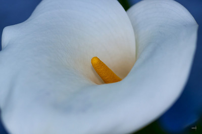 white hosta flower