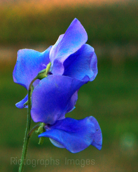 Sweat Pea Flowers