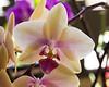 Phalaenposis Orchid