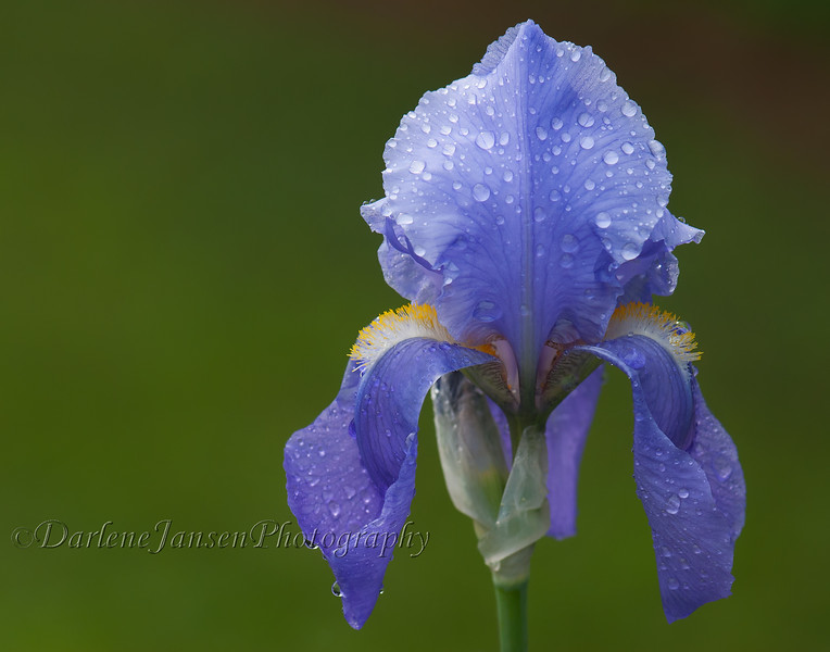 Iris with Rain Drops