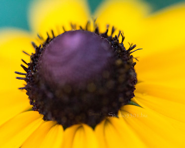 purple center yellow flower 1330  only the edges of the center are sharp; sorry.  Short Depth of Field with this lens.