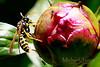 Peonie-Wasp_Web_2939