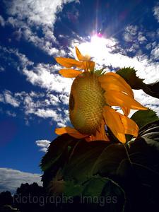 #A Garden Sunflower, Yellow Beauty