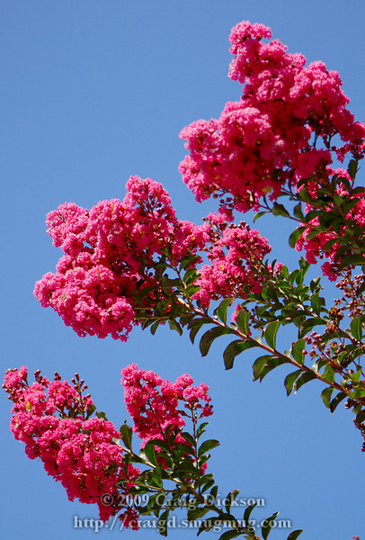 Pink Velour crape myrtle on Castro Street in Mountain View, California, August 2009