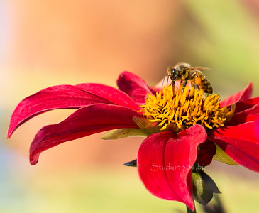 Bee_red Yellow flower ID 1267