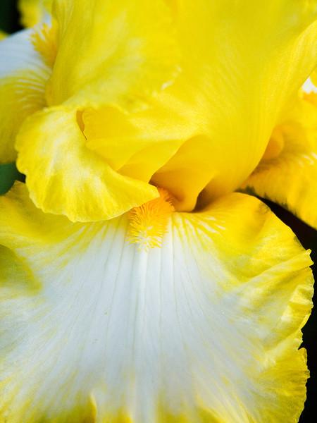 Michelle's Yellow Iris Up Close