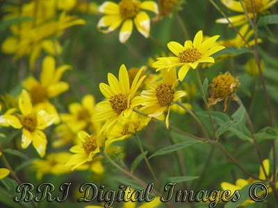 Ox-eye sunflower, False sunflower