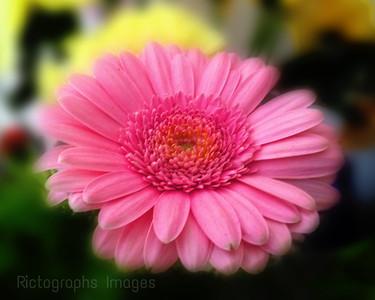 Pink, Bloomer,