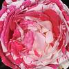 Rose.<br /> Royal Botanic Gardens Sydney, NSW, Australia.