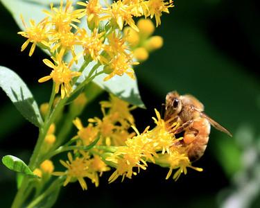 """""""Honeybee"""""""