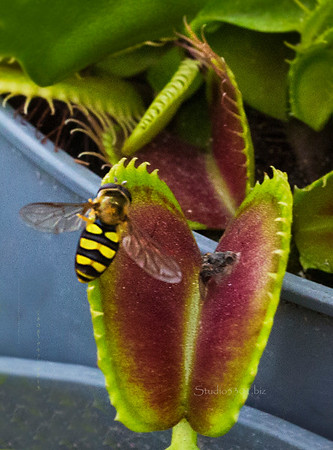 Bee on Venus fly trap 1185