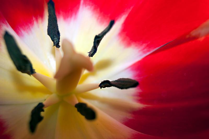 red tulip_Birds V 041