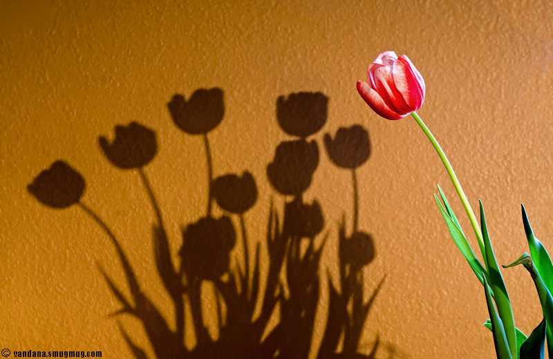 March 1, 2007 - A tulip and its shadows<br /> <br /> I almost entered this as my Feb 29th photo !!