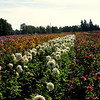 Along the rows...Dahlias shine in the warm autumn sun.<br /> Color for as far as you can see.