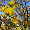 Yellow Kangaroo Paws (Landscape)