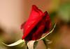 4503 - Rose