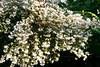 CRay-Flowers-0513