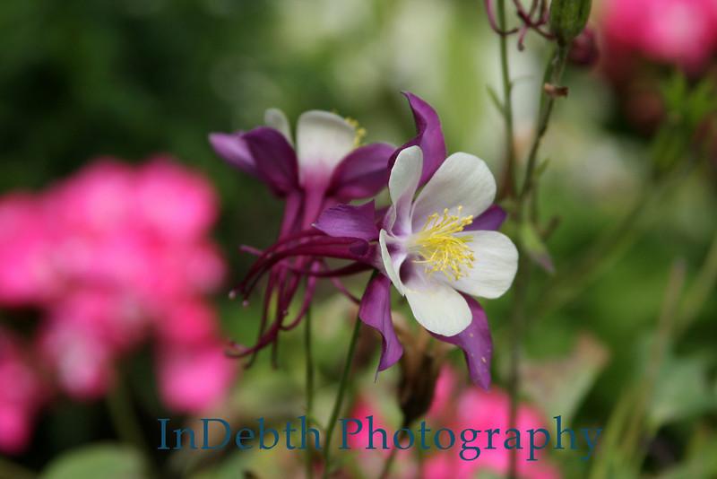 2519 - Columbine Flower