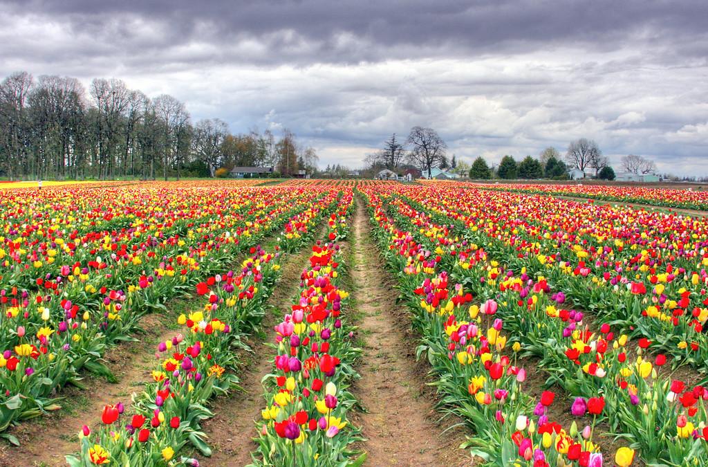 Multi colored tulips