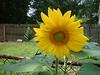 sunflower in the backyard