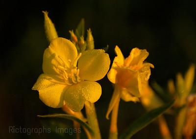 Wild Yellow Primrose