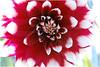 red white flower 282