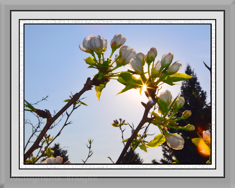Apple Blossoms,  Rictographs Images