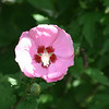 Rose of Sharon, Portland Oregon