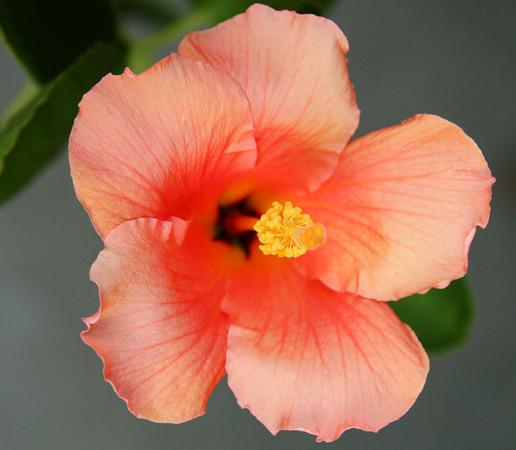 Hibiscus_8934