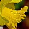 Daffodil and raindrops - 168