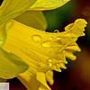Daffodil and raindrops - 168