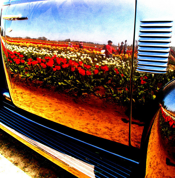 Reflected in the 1950's pick up truck door the Wooden shoe flower fields appear as if a skin.