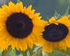Traditional sunflower view
