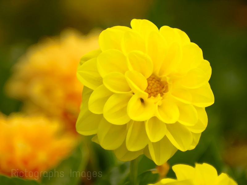 Yellow Garden Cultivar