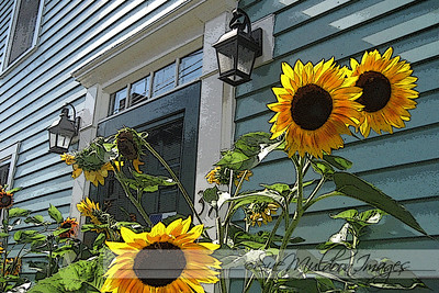 Sunflowers in front, Portsmouth NH