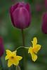 Tulip and Daffodil