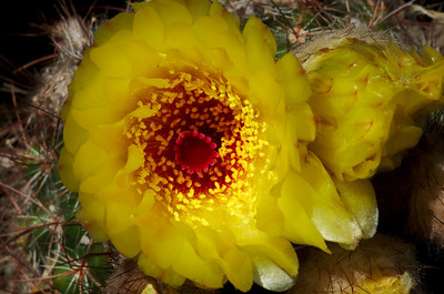Ball Cactus flower