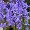 Wood hyacinth - 148