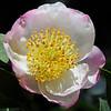 Camellia sasanqua cv. Narumigata<br /> Royal Botanic Gardens, Sydney, Australia.<br /> Family: Theaceae.