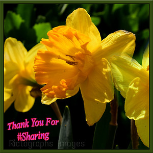 Yellow Daffodil, Spring Flower, Thank You For #Sharing