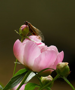 Another cicada on my peonies